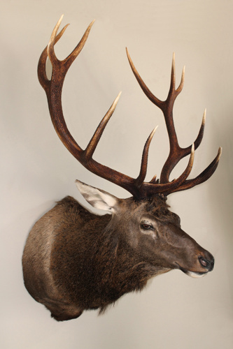 14b0371509b7900b-wapiti-bull-taxidermy