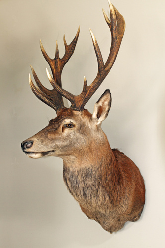 bc1dbdc4750e35aa-red-stag-taxidermy