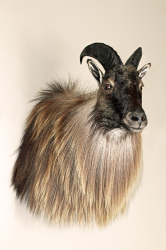 d4fd9196d07dbec8-big-game-taxidermy-bull-tahr
